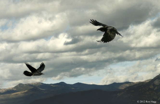 two-ravens-in-flight-[1]