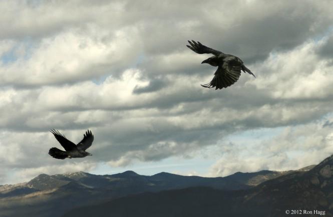 two-ravens-in-flight-[1]